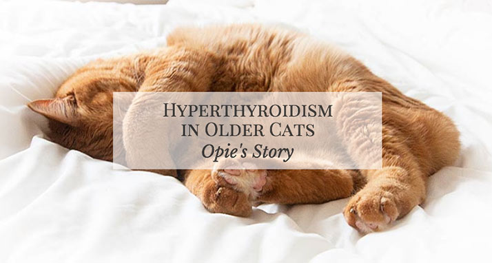 Hyperthyroidism in Older Cats: Opie's Story
